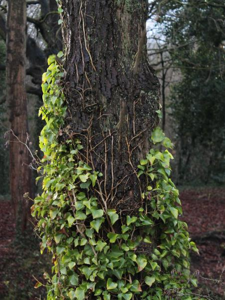 Tree covered with ivy in Matlock.